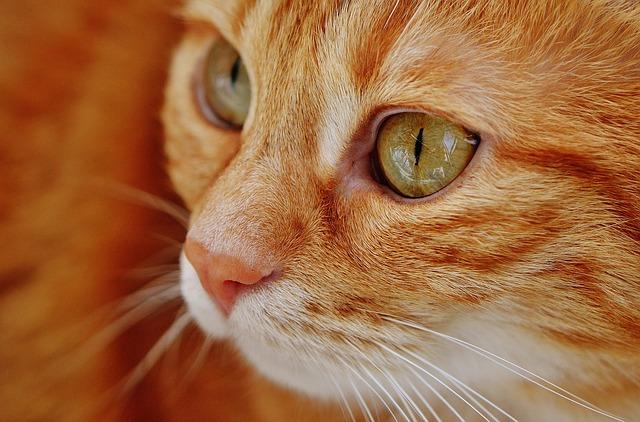 zrzavá hlava kočky