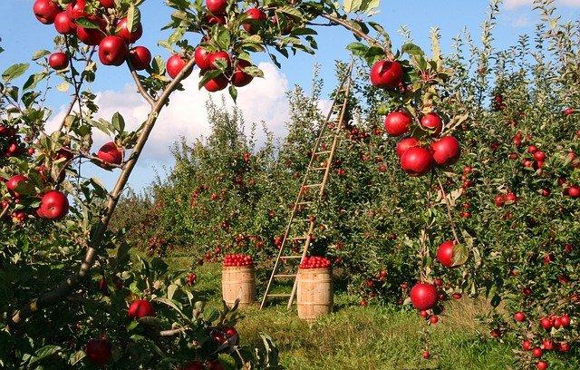 sklízení jablek.jpg